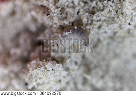 A Sand Hopper Arthropod, Talitrus Saltator, On Coarse Grained Sand Of A Beach.