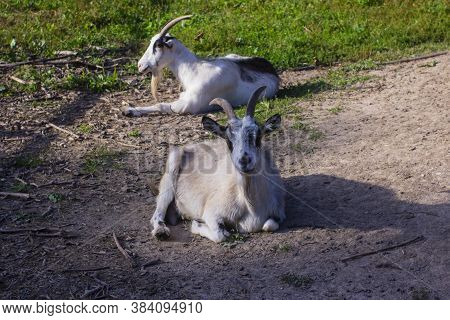 Two Goats Bask In The Sun. Horizontal Image.