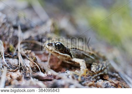 Face The Amphibian. The Siberian Frog Or Amur Frog Is A Species Of True Frog In The Family Khabarovs