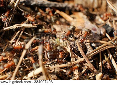 Ant Family. Ants. Macro Photo. Mink In The Ground. Ants Are Working. Production. Ants At The Entranc