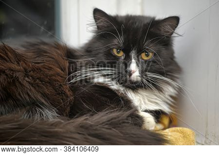 Beautiful Fluffy Black And White Norwegian Forest Cat