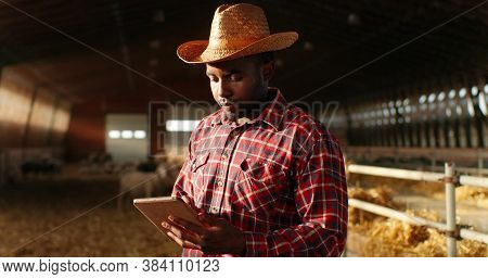 African American Man Shepherd In Hat Standing In Shed With Cattle Animals And Using Tablet Device. M