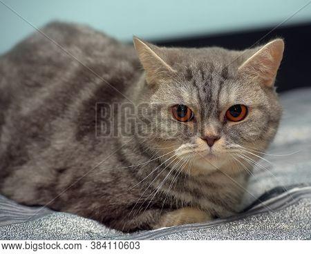 Gray   British Cat With Orange Eyes
