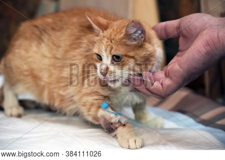 Sick  Cat With A Catheter In His Paw