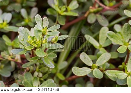 Purslane Plant Portulaca Oleracea Outdoors Close Up View With Daylight