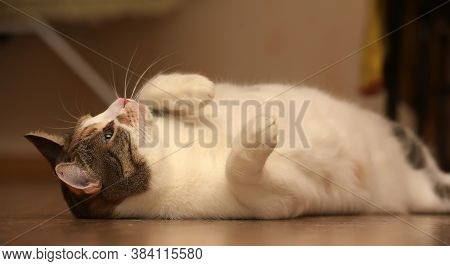 Fat Cat Playing On The Wooden Floor.