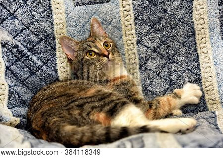 Calico Cat Lying On The Sofa. Close Up