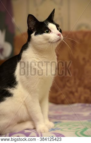 Black And White European Shorthair Cat