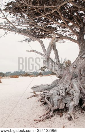 Trunk Of A Beautiful Crooked Old Tree On A Snow-white Beach In America