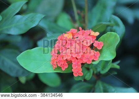 A Rubiaceae Flower. Ixora Coccinea Flower In Garden.