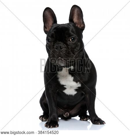 Tough French Bulldog puppy looking forward and sitting on white studio background