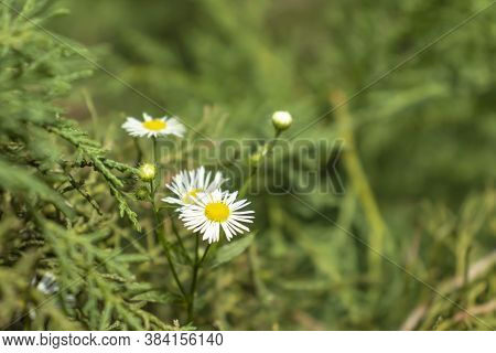 Camomile Flower White In The Garden. Beatiful And Bright Camomile Blossom.