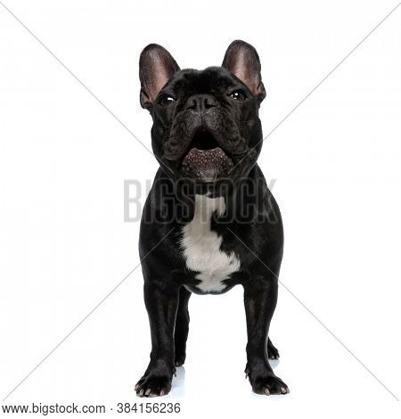 Playful French Bulldog puppy being excited and having his mouth open, standing on white studio background