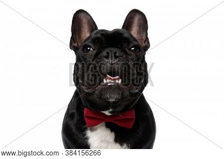 Happy French Bulldog puppy wearing bowtie and panting on white studio background