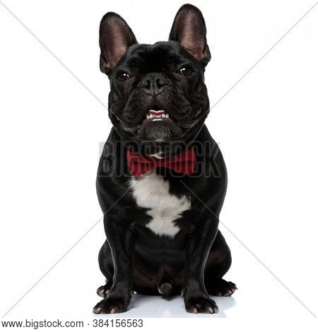 Positive French Bulldog puppy wearing bowtie smiling, and panting, sitting on white studio background