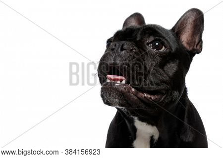 Excited French Bulldog puppy looking up and panting on white studio background