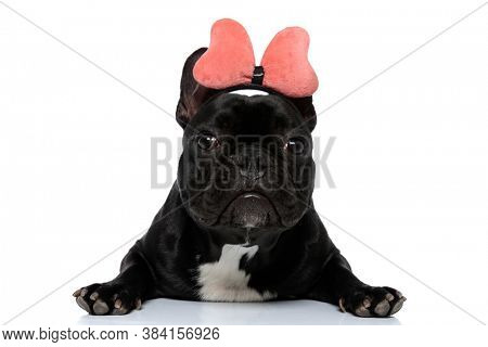 Adorable French Bulldog puppy laying down and wearing headband with bowtie on white studio background