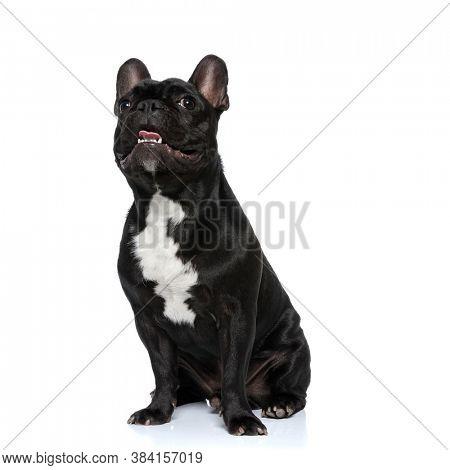 Dutiful French Bulldog puppy panting and smiling, sitting on white studio background