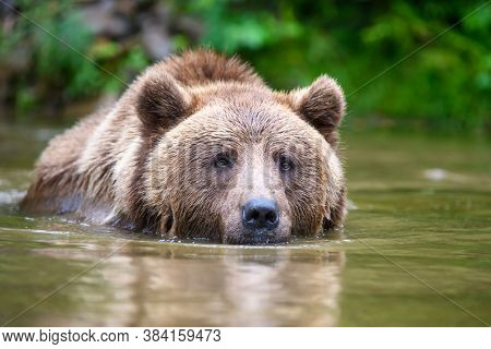 Wild Adult Brown Bear ( Ursus Arctos ) In The Water