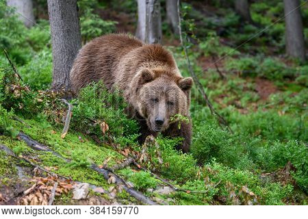 Wild Adult Brown Bear ( Ursus Arctos ) In The Summer Forest