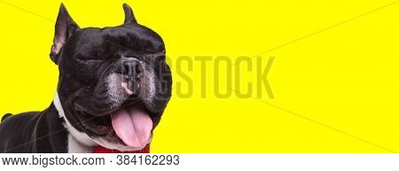 Happy French Bulldog cub panting and smiling, wearing bowtie on yellow studio background