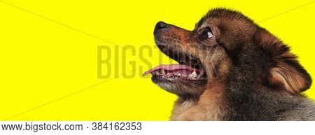 Side view of dutiful Pomeranian panting and begging on yellow studio background