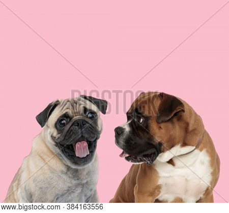 team of pug and boxer sticking out tongue and panting on pink background