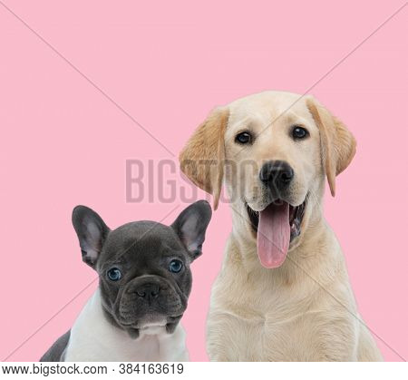 team of two dogs, french bulldog and labrador retriever panting and sticking out tongue on pink background