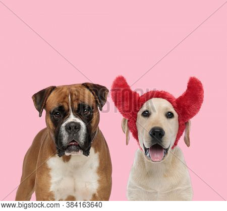 team of boxer and labrador retriever panting and wearing devil horns on pink background