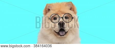 cute young Chow Chow dog sitting, wearing eyeglasses, and panting on blue background