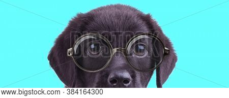 young nerdy Labrador Retriever dog bowing his head, wearing eyeglasses and looking at camera on blue background