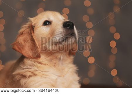 adorable golden retriever puppy looking up and laying down on background lights