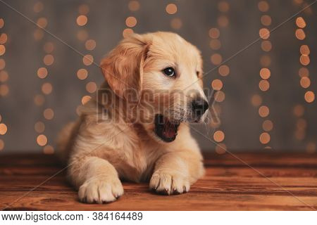 sleepy golden retriever puppy looking up and yawning, laying down on wooden floor on background lights
