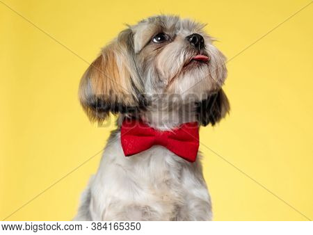 Eager Shih Tzu puppy looking up, panting and wearing bowtie while looking away on yellow studio background