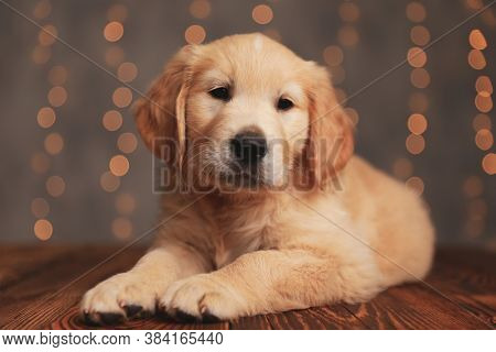 cute golden retriever dog looking to side and laying down on wooden floor on background lights