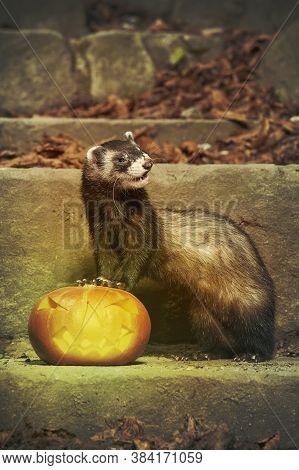 Dark Ferret Posing With Halloween Jack-o'-lantern Pumpkink