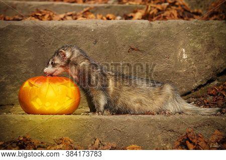 Older Dark Ferret Posing With Halloween Jack-o'-lantern Pumpkink
