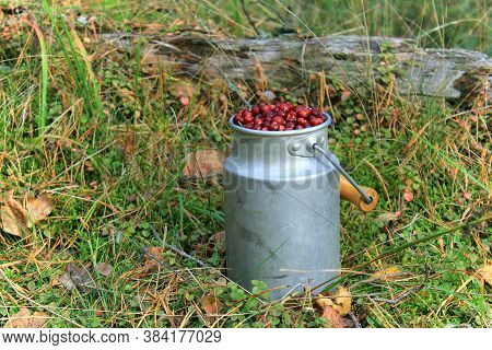 Fresh forest Cranberry in the basket. Ripe cranberries in the metal mug in the woods. Cranberries in the gass under the fir in forest. Healthy food and berry drink. Christmas mood