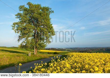 Field Of Rapeseed, Canola Or Colza, In Latin Brassica Napus, Lime Tree And Road, Rape Seed Is Plant