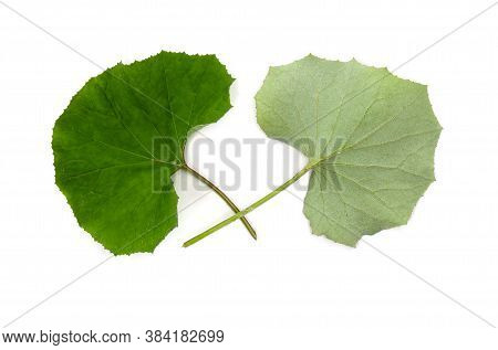 Leaves Coltsfoot ( Tussilago Farfara ) Top And Underside On White Background. Other Names: Tash Plan