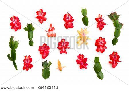 Flowers And Leaves Cactuses ( Schlumbergera Truncata, Common Names: Christmas Cactus, Thanksgiving C