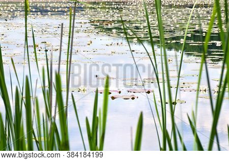 Blooming White Lilies (nymphaea Alba, Also Known As The European White Water Lily, White Water Rose,