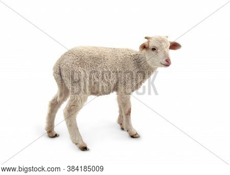 White Small Lamb (ovis Aries) On A White Background.