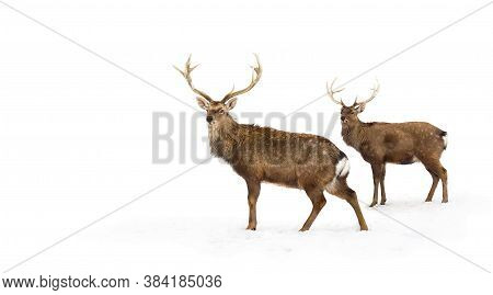 Sika Deers ( Cervus Nippon, Spotted Deer ) Walking In The Snow On A White Background