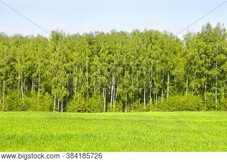 Landscape Forest With Birch Tree (betula Pendula), Bushes And Glade In Spring
