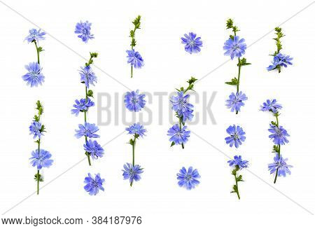Flowers Of Common Chicory (cichorium Intybus) White Background. Roots Used As A Coffee Substitute An