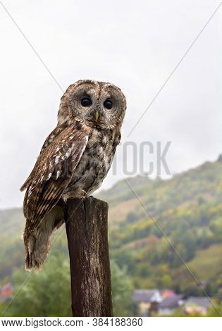 Tawny Owl Or Brown Owl  ( Strix Aluco ) On Stump In Autumnal  Forest In Mountain During Rain
