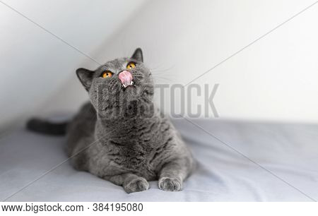 Funny British cat licking his mouth and relaxing on bed. British shorthair breed