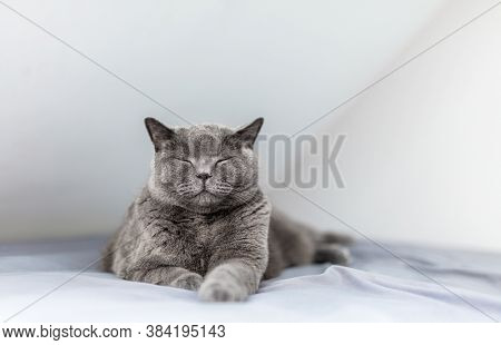 Happy British cat smiling with his eyes closed when lying on bed. British shorthair breed
