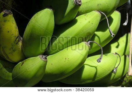 Bananas On Tree